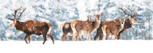 A Noble Deer With Females In The Herd Against The Background Of A Beautiful Winter Snow Forest. Artistic Winter Landscape. Christmas Photography. Winter Wonderland. Banner Design.