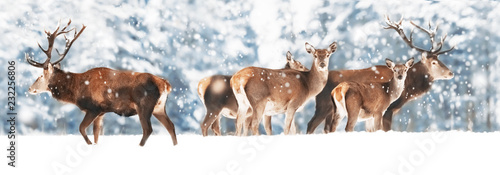 Fotobehang Hert A noble deer with females in the herd against the background of a beautiful winter snow forest. Artistic winter landscape. Christmas photography. Winter wonderland. Banner design.