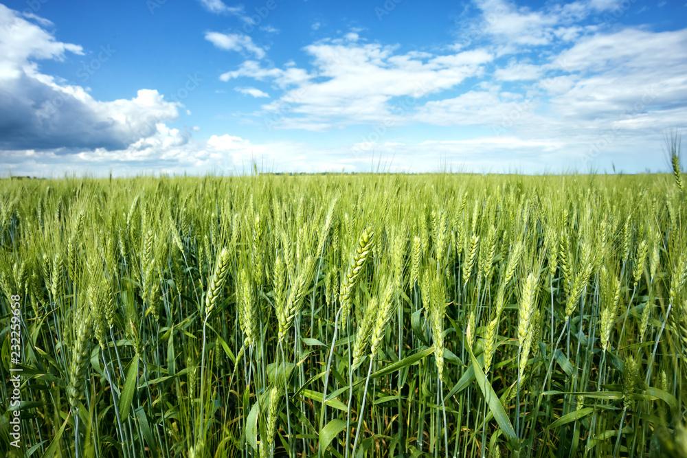 Fototapety, obrazy: Green ears of wheat under blue sky