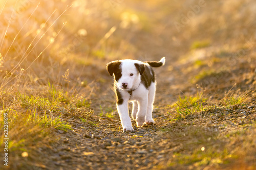 Leinwand Poster  Puppy runs along the path in the sunset light