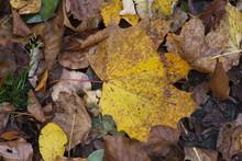 Jesienny Klonowy Liść