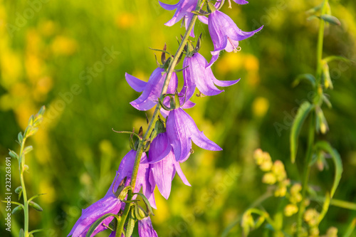 violet flowers and buds of wild campanula on the meadow Wallpaper Mural