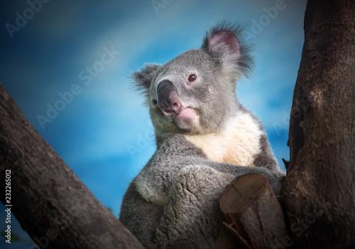 Garden Poster Koala Koala is on the tree.