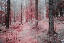 Forêt Dans Le Brouillard En Infrarouge. Rose