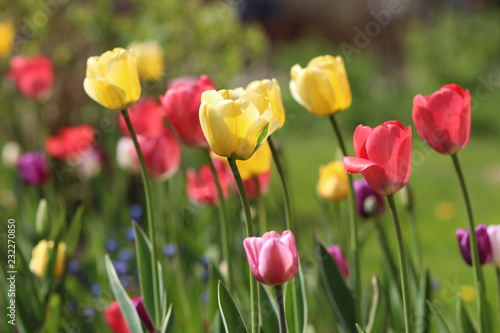 Fototapety, obrazy: red and yellow tulips in the garden
