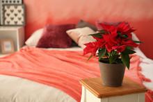 Christmas Flower Poinsettia On Wooden Stool In Bedroom