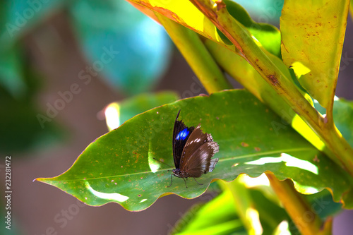 Fotografie, Obraz  Gorgeous beautiful brown gray white butterfly sits on a large green leaf of a tropical plant in the shade of bright sunlight