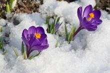 Purple Crocuses Flowers In The Snow