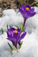 Purple Crocuses Bloom In The Spring