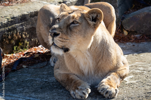 Fotografie, Obraz  Asiatic lioness (Panthera leo persica)