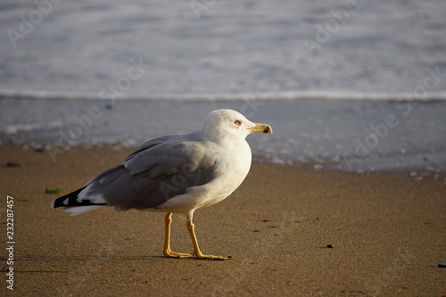Poster Nature Portrait of a large sea gull on yellow sand.