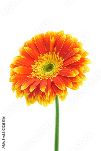 Staande foto Gerbera Multilocored gerbera isolated on white background