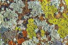 Color Lichen On Stone Top View