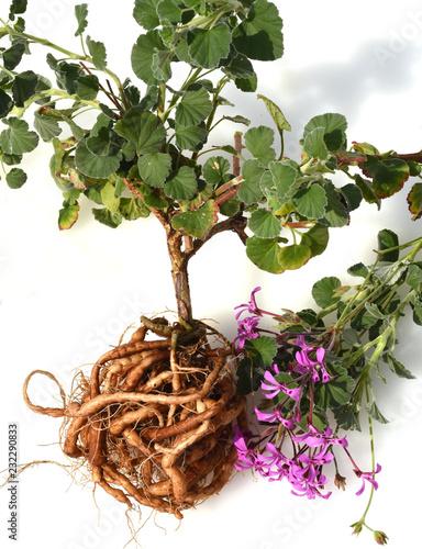 Umckaloabo, Pelargonium, reniforme, Wurzel
