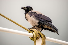 Hooded Crow On A Railing Of A Trawler