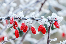 Berberis Branch Under Heavy Snow And Ice.