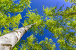 canvas print picture - Birch grove bottom view of trees and blue sky