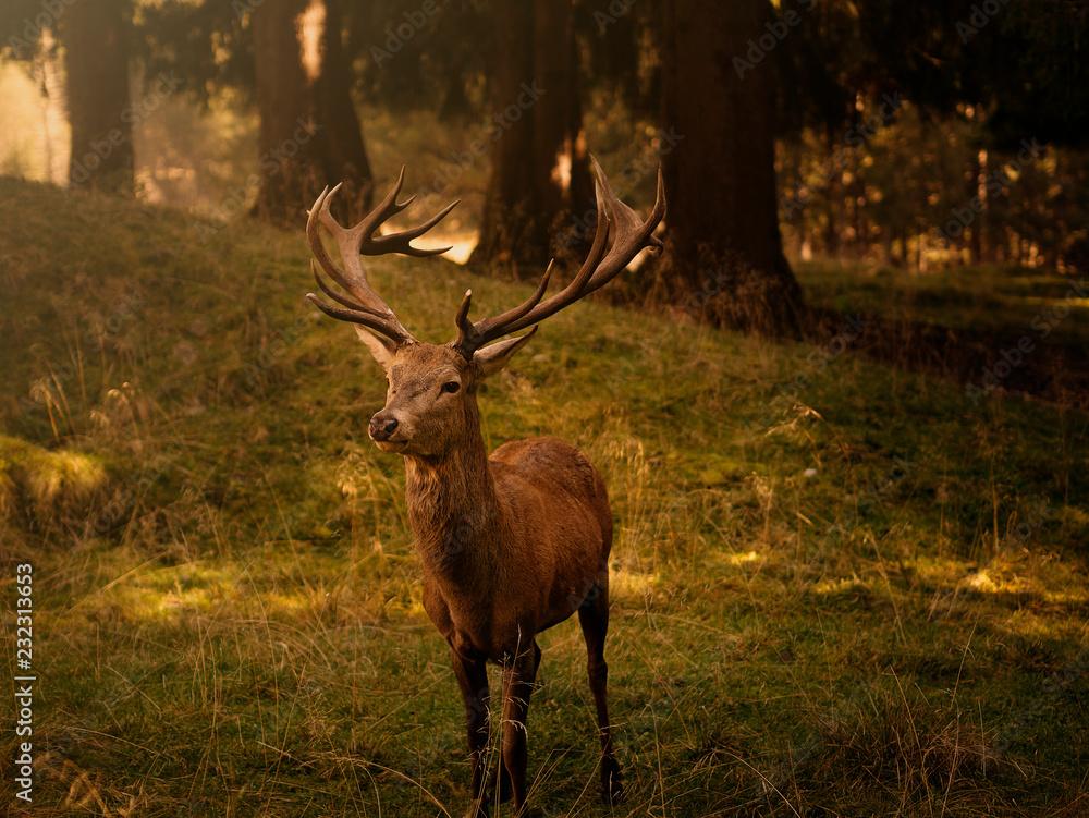 Fototapeta cervo maschio nel bosco delle dolomiti