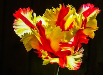 Panel Szklany Egzotyczne Flaming Parrot Tulip (Tulipa 'Flaming Parrot')