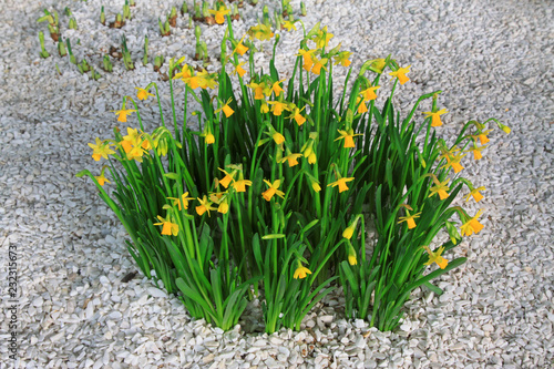 Deurstickers Narcis narcissus plants