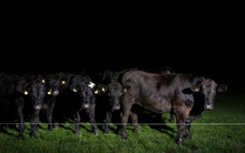 Cows Behind Fence At Night, Grouw, Friesland, Netherlands
