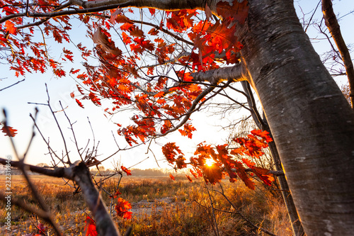 Foto op Canvas Herfst autumn tree with red leaves on the background of a bright sunset