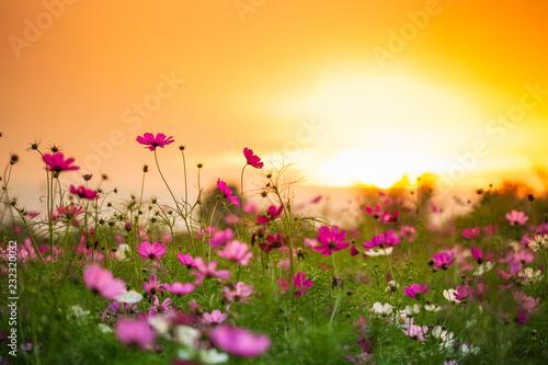 Univers Cosmos flower garden
