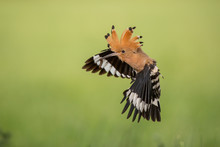 Hoopoe In Flight (Upupa Epops)