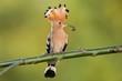 Hoopoe in flight (Upupa epops)