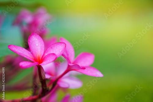 Keuken foto achterwand Frangipani Plumeria Blossoms,Pink frangipani flowers
