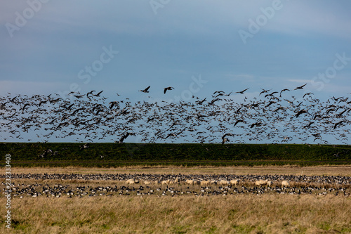 Photo Bram geese overflying and landing on a field with sheep
