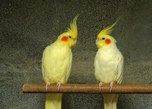 Couple Of Yellow Cockatoo Nymphs. Parrot Breed