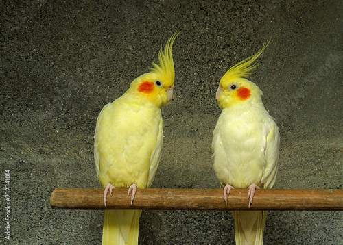 Fotomural couple of yellow cockatoo nymphs. Parrot breed