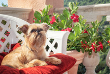 Brussels Griffon Is Resting On...