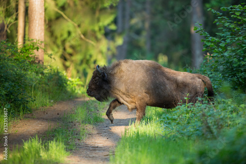 Photo  European bison - Bison bonasus in the Knyszyn Forest (Poland)