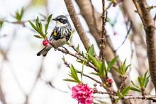 Yellow-rumped Warbler In The P...