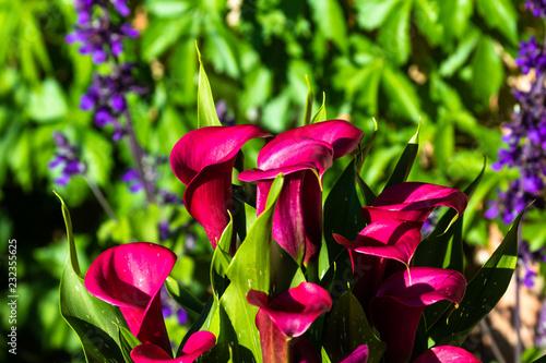 Foto op Plexiglas Texas Red flowers
