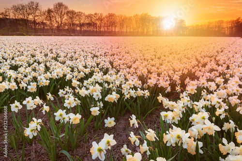 Canvas Prints Narcissus Colorful blooming flower field with white Narcissus or daffodil during sunset.