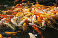 Fish (carp) In A Pond. Concept...