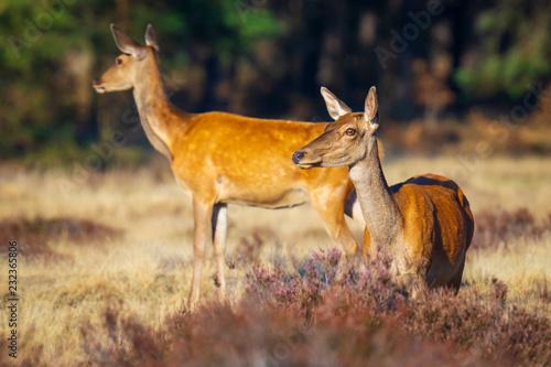 Fotografiet Female Red Deer doe or hind, Cervus elaphus