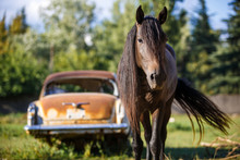 Brown Horse Looks Into The Frame, Goes To Meet. Behind Her Is An Old Rusty Car On A Green Background In The Summer.