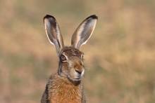 European Hare (Lepus Europaeus), Animal Portrait, National Park Lake Neusiedl, Burgenland, Austria, Europe