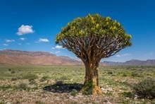 Blooming Quiver Tree (Aloe Dic...