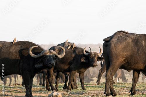 Keuken foto achterwand Buffel The African buffalo or Cape buffalo