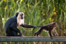 Lion-tailed Macaque With Baby