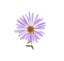 Alpine Aster Flower Isolated On White Background