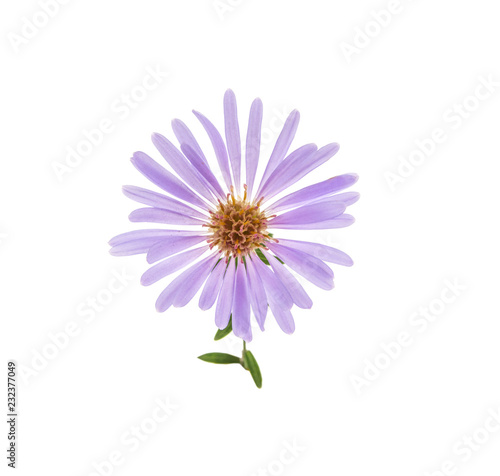 alpine aster flower isolated on white background Canvas Print