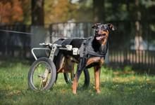 Happy Big Dog In Wheelchair Or Cart Standing In Summer Yard