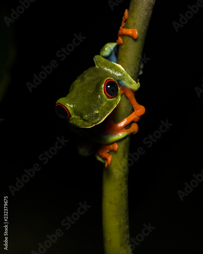 Tuinposter Kikker Red-eyed tree frog, Arenal rainforest, Costa Rica