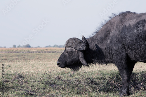 Cape buffalo (Syncerus caffer) feeds in grass in the Bwabwata National Park, Caprivi strip, Namibia